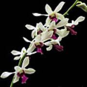 Dendrobium 'lloyd Stainton'. Poster