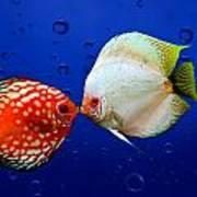 Discus Fish Poster