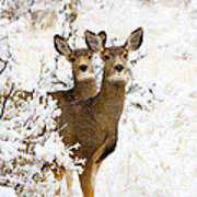 Doe Mule Deer In Snow Poster