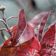 Dogwood  Autumn Poster