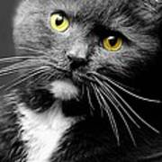 Domestic Gray And White Short Hair Poster