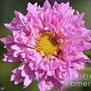 Double Click Cosmos Named Rose Bonbon Poster