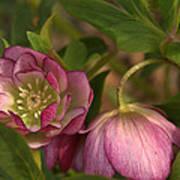 Double Lenten Rose Poster