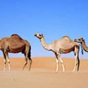 Dromedary Camel (camelus Dromedarius Poster