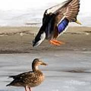 Ducking Around Poster