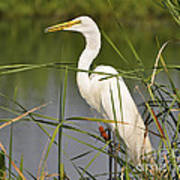 Egret In The Cattails Poster