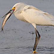 Egret With Fish Poster