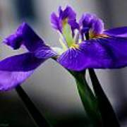 Elegant Iris Poster