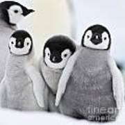 Emperor Penguin Chicks Poster