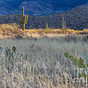 Engelmanns Prickly Pear Cactus Poster