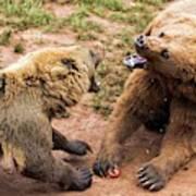 Eurasian Brown Bears Fighting Poster