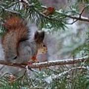 Eurasian Red Squirrel Poster