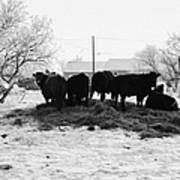 feed and fresh grass laid out for cows on winter farmland Forget Saskatchewan Canada Poster