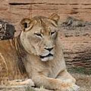 Female African Lion Poster