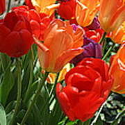 Festival Of Tulips Poster