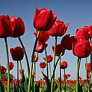 Field Of Red Tulips Poster
