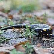 Fire Salamander Fog Droplets Poster