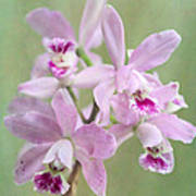 Five Beautiful Pink Orchids Poster