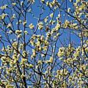 Fluffy Catkins At At Tree Against Blue Sky Poster