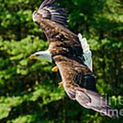 Flying Eagle Poster
