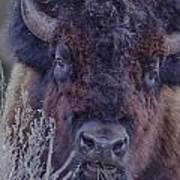 Forest Bull Poster