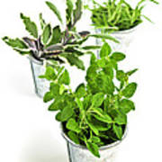 Fresh Herbs In Pots Poster
