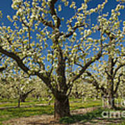 Fruit Orchard Poster