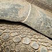 Galapagos Turtle Poster