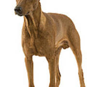 German Or Standard Pinscher Poster