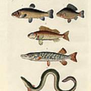 German Sea Fish Poster