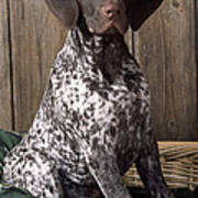 German Short-haired Pointer Dog Poster