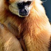 Gibbon Monkey  Poster