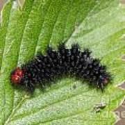 Glanville Fritillary Butterfly Caterpillar - Melitaea Cinxia Poster