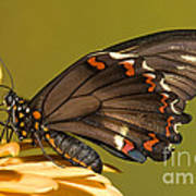 Gold Rim Swallowtail Butterfly Poster