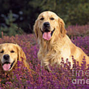 Golden Retriever Dogs In Heather Poster