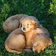 Golden Retriever Puppies Sleeping Poster by Linda Freshwaters Arndt