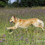 Golden Retriever Running Poster