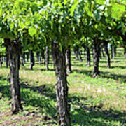 Grape Vines In A Row Poster