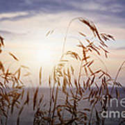 Grass At Sunset Poster