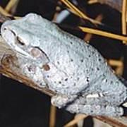 Gray Treefrog Poster