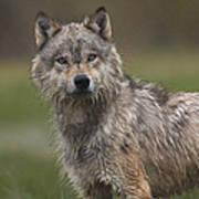 Gray Wolf  North America Poster