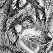 Gray Wolf Watches And Waits Poster