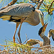 Great Blue Heron Adult Feeding Nestling Poster