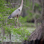 Great Blue Heron (ardea Herodias Poster