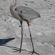 Great Blue Heron On The Beach Poster