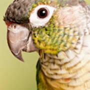 Green-cheeked Conure Pyrrhura Molinae Poster