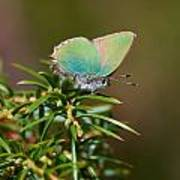 Green Hairstreak Poster