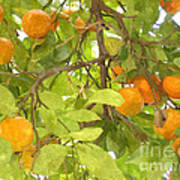 Green Leaves And Mature Oranges On The Tree Poster