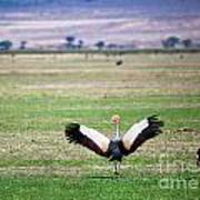 Grey Crowned Crane. The National Bird Of Uganda Poster