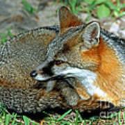 Grey Fox Poster